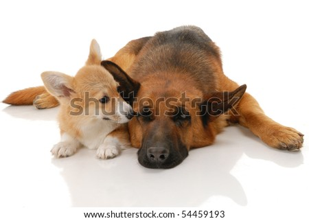 Two dogs in the studio on a white background - stock photo