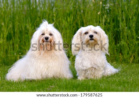 Two dogs is posing on green grass. Breed: Bichon Havanais - stock photo