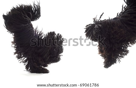 two dogs jumping - corded puli - hungarian herding dogs on white background - stock photo