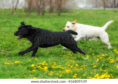 two dogs Labrador retrievers white yellow and black fun run and play outdoors in summer