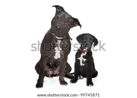 ... .left mix pitbull,right mixed Great Dane, Rottweiler. - stock photo