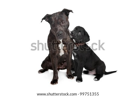 two dogs.left mix pitbull,right mixed Great Dane, Rottweiler. - stock photo