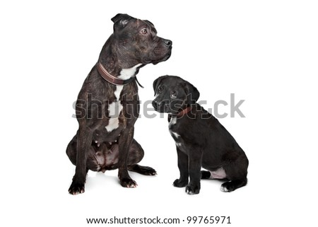 two dogs.left mix pitbull,right mixed Great Dane, Rottweiler.