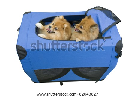 Two dogs looking out of a blue purse - stock photo