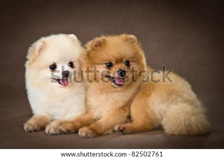 Two dogs of breed a Pomeranian spitz-dog in studio - stock photo