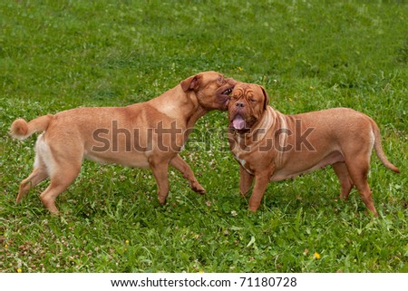 Two dogs of Dogue De Bordeaux breed playing in the garden - stock photo