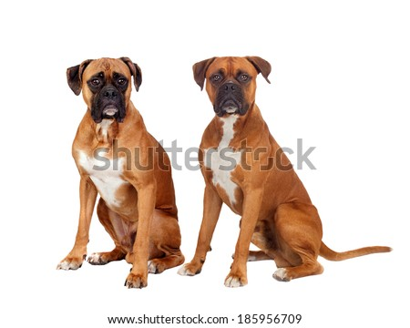 Two dogs of the same breed sitting on white background - stock photo