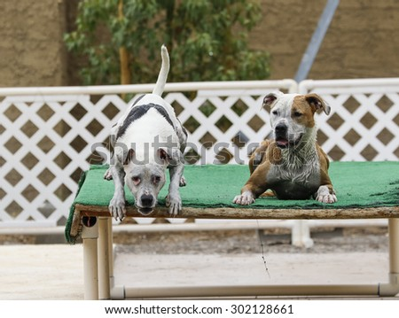 Two dogs on the dock, one jumping into the pool - stock photo