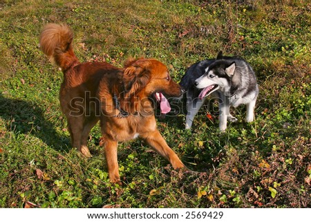 two dogs (one a husky) playing together - stock photo
