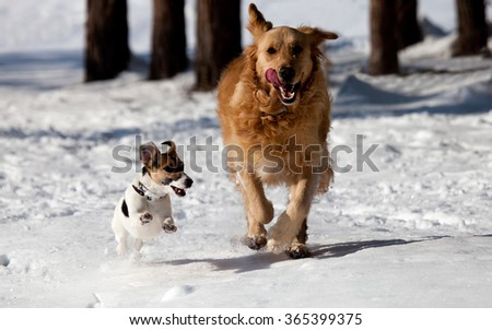 two dogs, one Jack Russell and one golden retriever play and run in the snow near forest  - stock photo