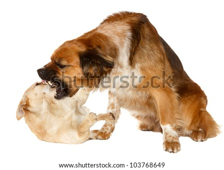 Two dogs playing - stock photo