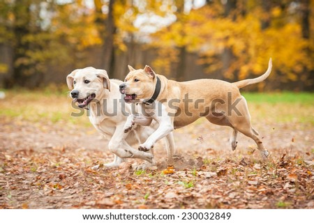 Two dogs playing in autumn - stock photo