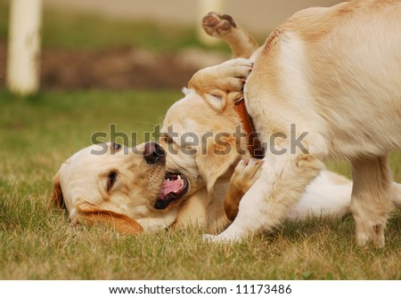 two dogs playing in the grass