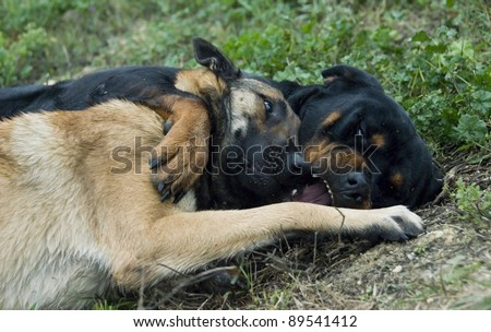 two dogs playing in the grass: rottweiler and belgian shepherd malinois - stock photo