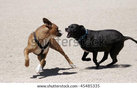 Two dogs playing - looks mean, but just fun. Boxer sticking tongue out at lab. - stock photo