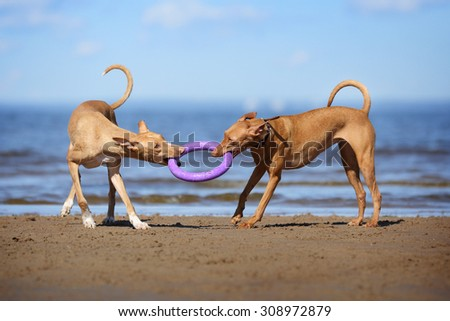 Two dogs playing on the beach - stock photo