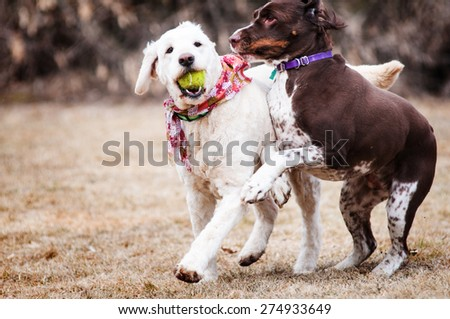 two dogs playing outdoors with a ball - stock photo