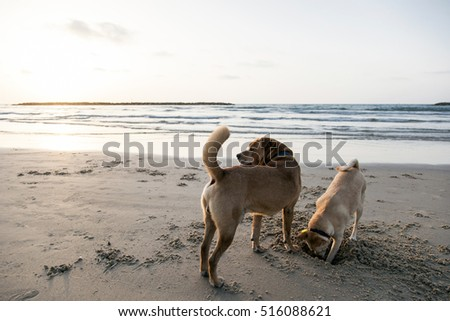 Two dogs playing toether on the beach at sunset time.