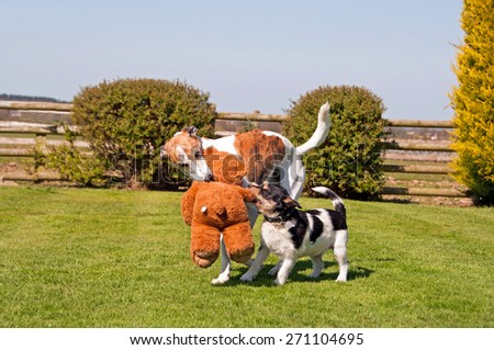 Two dogs playing with a teddy bear - stock photo