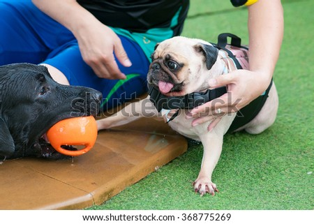 Two dogs playing with a toy together in swimming pool (Big dog Great Dane and small dog Pug) - stock photo