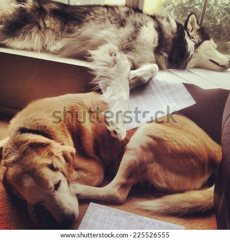 Two dogs relaxing next to each other in a house. - stock photo