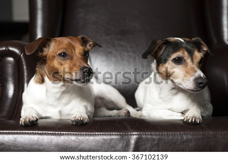 Two dogs resting on sofa