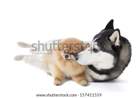 Two dogs (Siberian Husky and Pomeranian) cuddling on a white background in studio