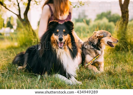 Two Dogs Sitting Next To A Woman In Grass On A Summer Evening. One Of Dogs - A Collie Or Shetland Sheepdog, Sheltie. - stock photo
