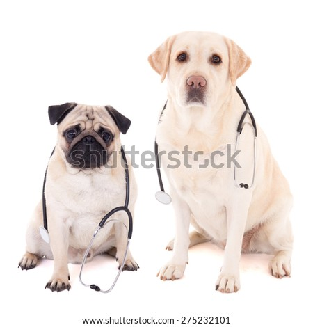 two dogs sitting with stethoscopes isolated on white background - stock photo