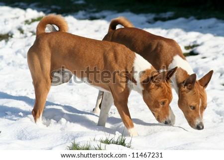 Two dogs sniffing snow to find hidden treats - stock photo