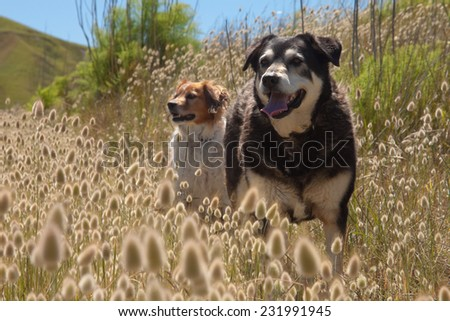 two dogs standing on a track among flowering Lagurus Ovatus bunnies tails or hares tails ornamental grasses beach scene New Zealand