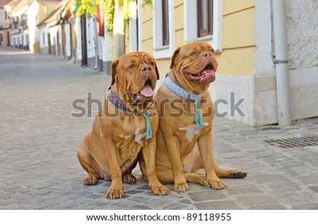 Two dogs with lovely collars sitting on a street - stock photo