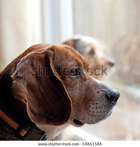 Two dogs with separation anxiety looking out the window and eagerly await the return of their owners.  Shallow depth of field. - stock photo