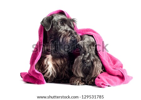 two dogs wrapped in a towel - stock photo