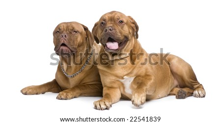 two Dogue de Bordeaux in front of a white background - stock photo