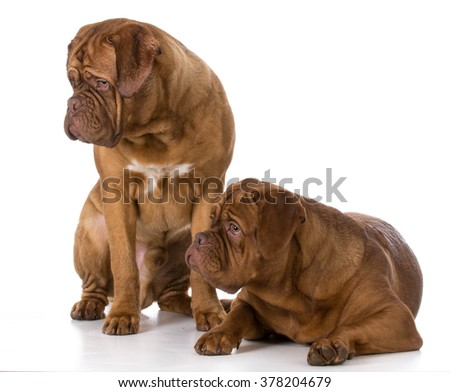 two dogue de bordeaux puppies on white background - stock photo