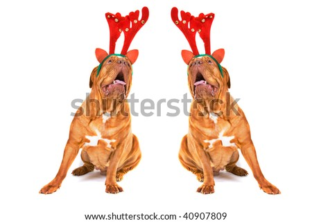 Two Dogues De Bordeaux Dressed as Reindeer singing Christmas songs - stock photo