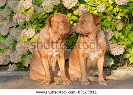 Two dogues de bordeaux sitting in front of flowers in the garden - stock photo