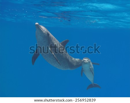 Two dolphins (cute baby and mother) swimming underwater in the blue tropical ocean