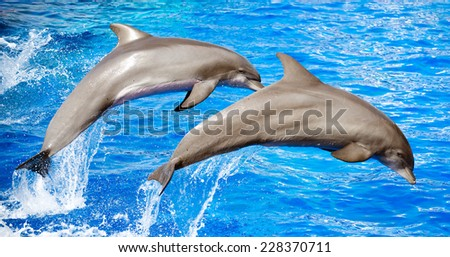 Two dolphins jumping in clear blue sea. - stock photo