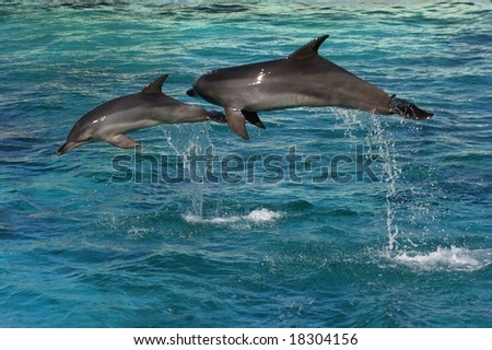 Two dolphins jumping in clear blue water - stock photo