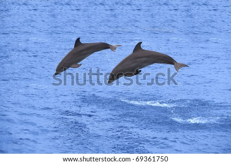 Two dolphins jumping in the Caribbean sea - stock photo
