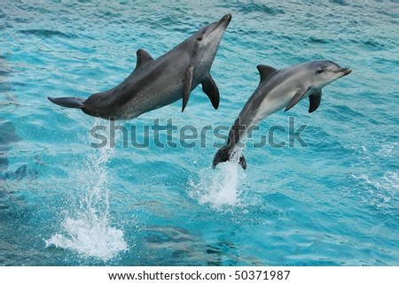 Two dolphins leaping out of the blue water - stock photo