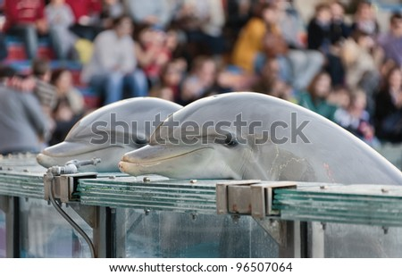 Two dolphins look at the audience in the basin of the lisbon zoo - Portugal - stock photo