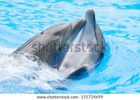 two dolphins playing in water park, performance, show - stock photo