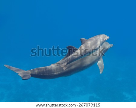 Two dolphins (pretty baby and parent) swimming in the blue tropical sea water, selective focus - stock photo