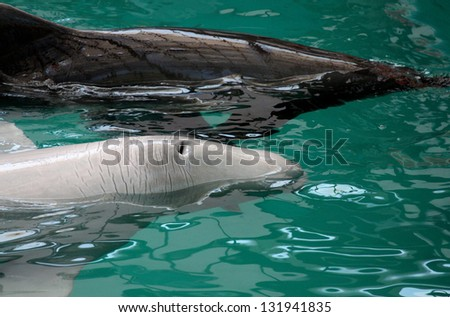 two dolphins sail in pool - stock photo