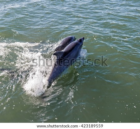 Two dolphins swim in the ocean - Namibia - stock photo
