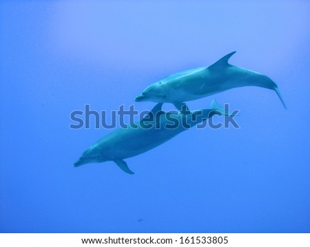 Two dolphins swimming in the clear blue ocean. - stock photo