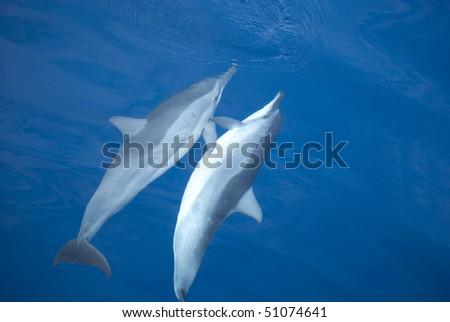 Two dolphins, swimming in the pacific ocean near Hawaii, during mating ceremony - stock photo